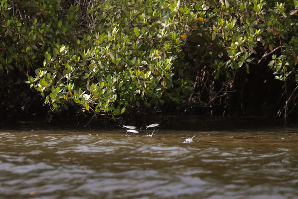 Fish jump out of the water on the Oceanium Mangrove Legacy Project Visit boat trip