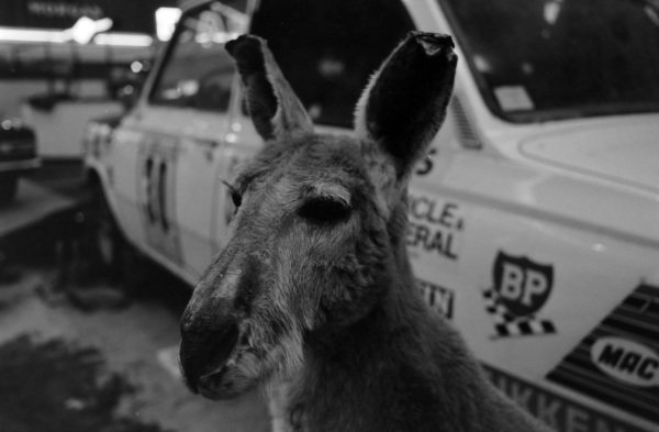 Representing the DAF 55's good performance in the 1968 London - Sydney marathon a kangaroo stands in front of the event vehicle.